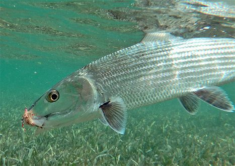 Bonefish in Belize
