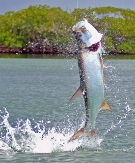 Tarpon at Turneffe Flats Lodge in Belize
