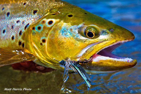 Brown trout at Patagonian Basecamp