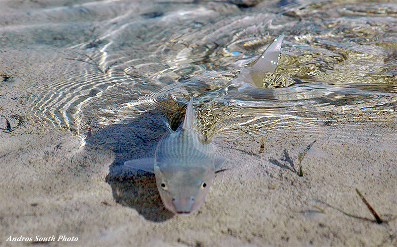 Bonefish on the flats at Andros South